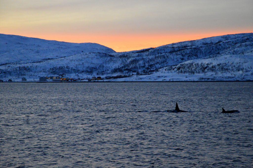 Whale watching nei fiordi di Tromso